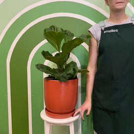 FIDDLE LEAF FIG (RUST POT)