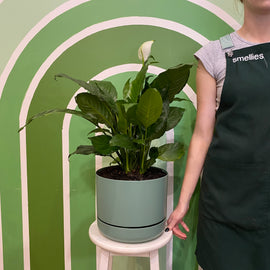 PEACE LILY IN SELF WATERING POT