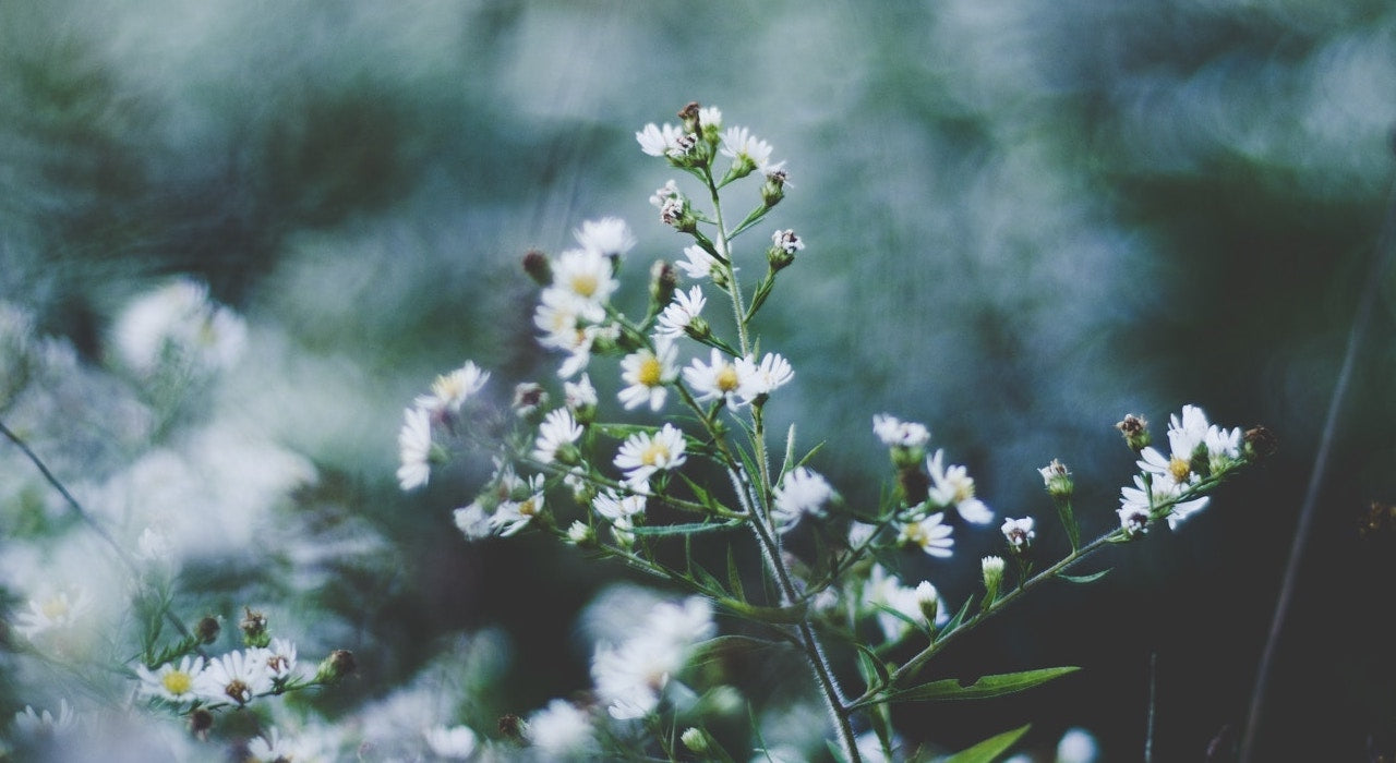 Scents to fall asleep to Chamomile
