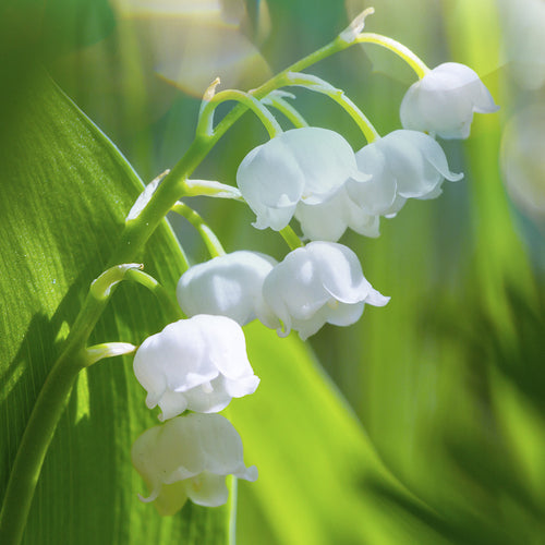collections/LilyoftheValley.jpg