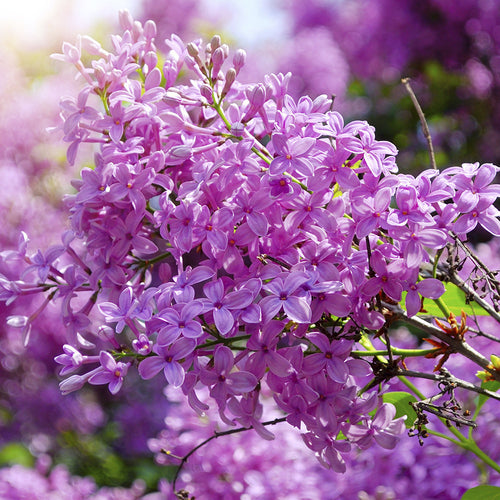collections/SpringLilac.jpg