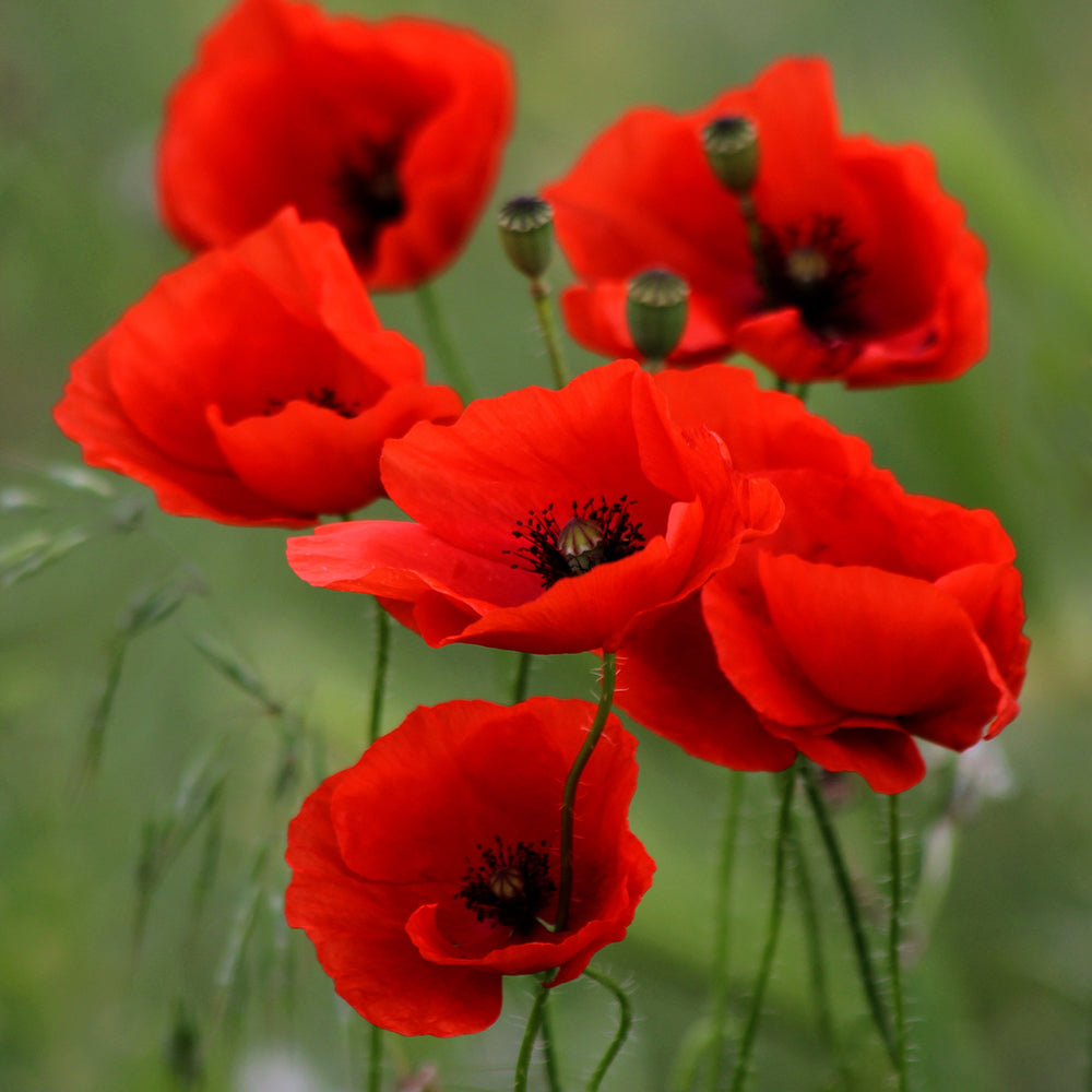 Fields of Poppies - Village Candle