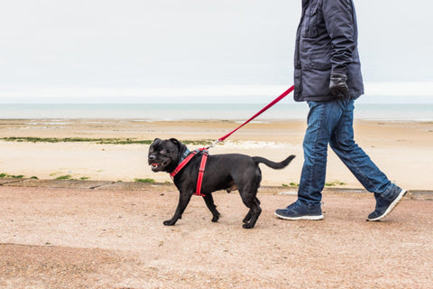 Why harnesses are safer when walking a dog