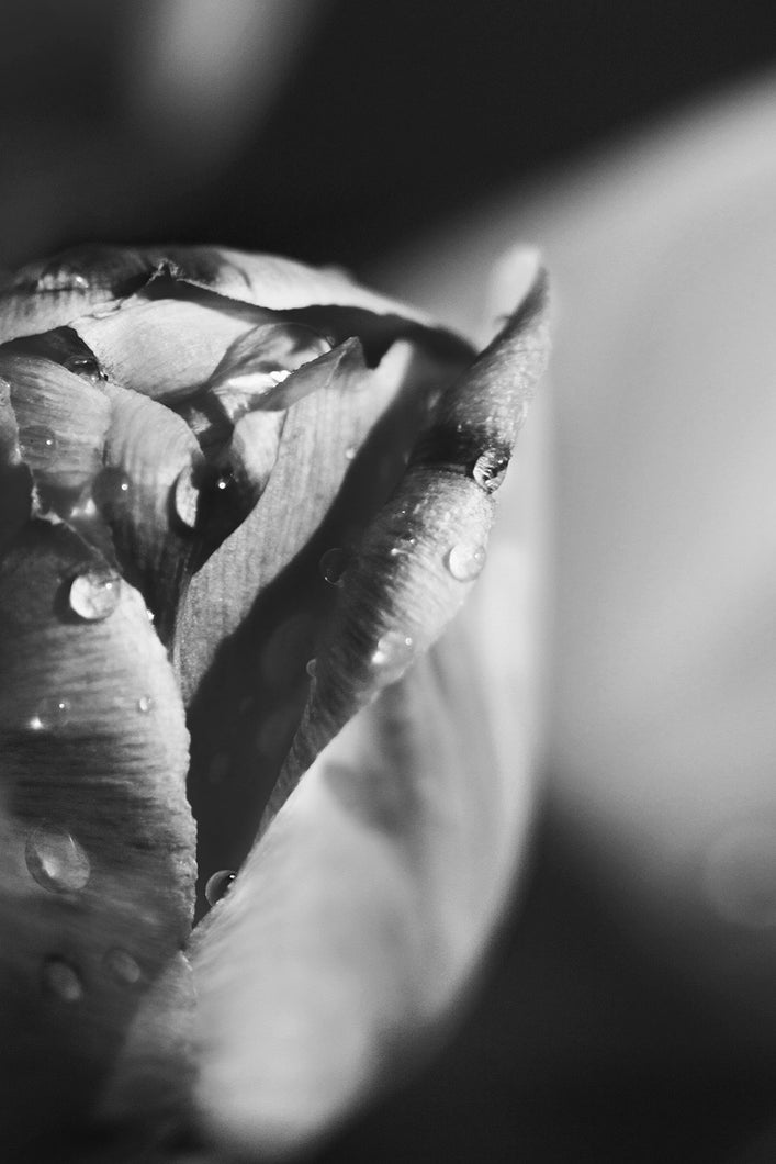 Black and White Rain Drop Tulip