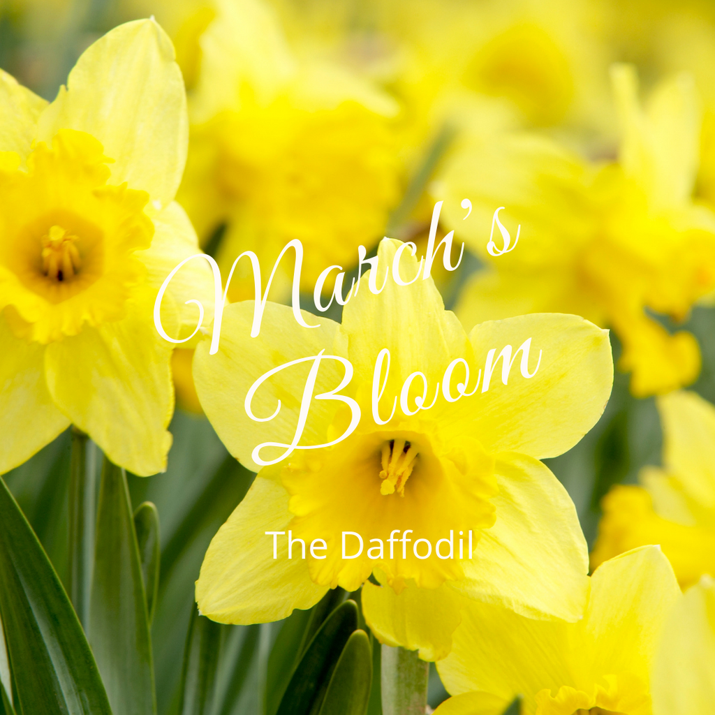 March's Bloom; The Daffodil
