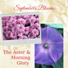 September's Blooms; The Aster and the Morning Glory