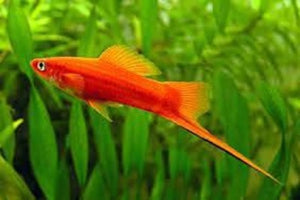 products/Assorted_Swordtail.jpg