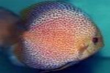Discus Spotted Eruption