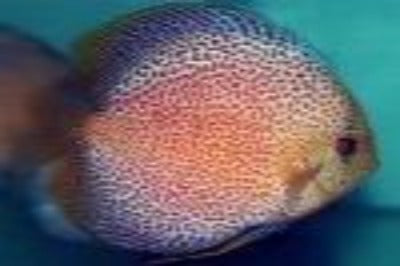 Discus Eruption