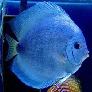 Discus Powder Blue