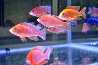 Fire Fish Cichlid