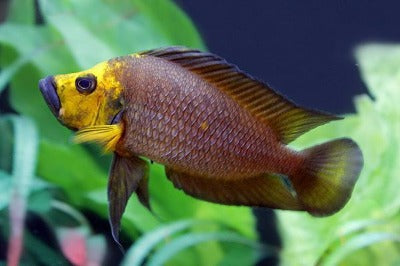 Gold Compreciceps