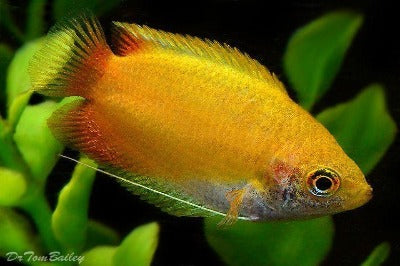 Golden Gourami