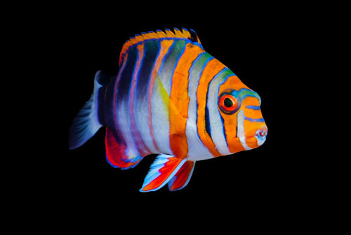 Harlequin Tusk Fish