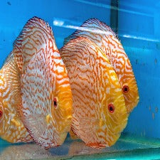 Discus Red Pigeon Blood