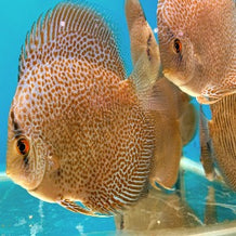 Discus Spotted Leopard