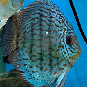Discus Red Turquoise