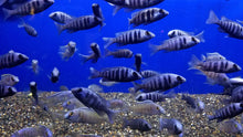 Placidochromis phenochilus (Mirror Ball cichlid)