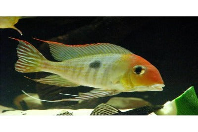 Orange Head Cichlid