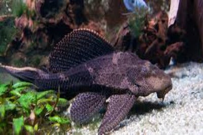 Plecostomus Large