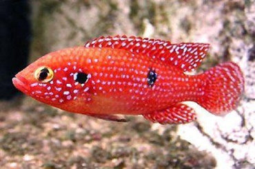 Red Forrest Jewel Cichlid