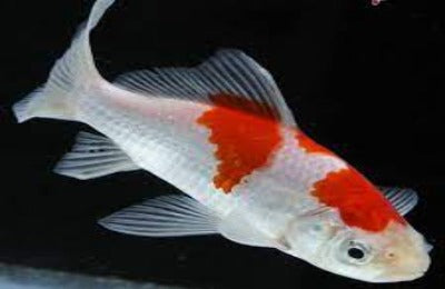 Red & White Comet Goldfish