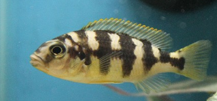 Petrotilapia sp.