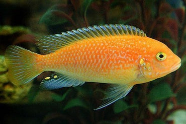 Zebra Cichlid Pulu Point Red