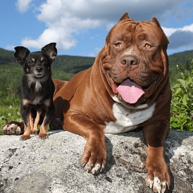 OMG! The Biggest Pitbull In The WORLD Becomes Best Friends With A Tiny Chihuahua