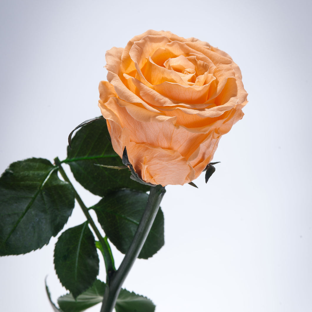 Apricot Premium Magic Rose