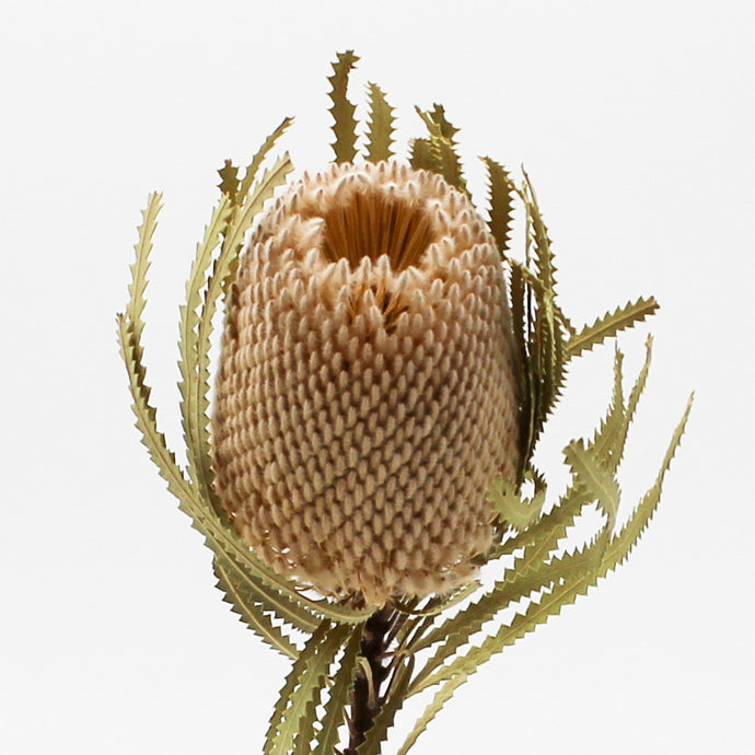 Dried Banksia Hookerana Stem