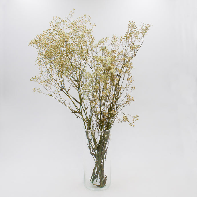 Cream Gypsophila