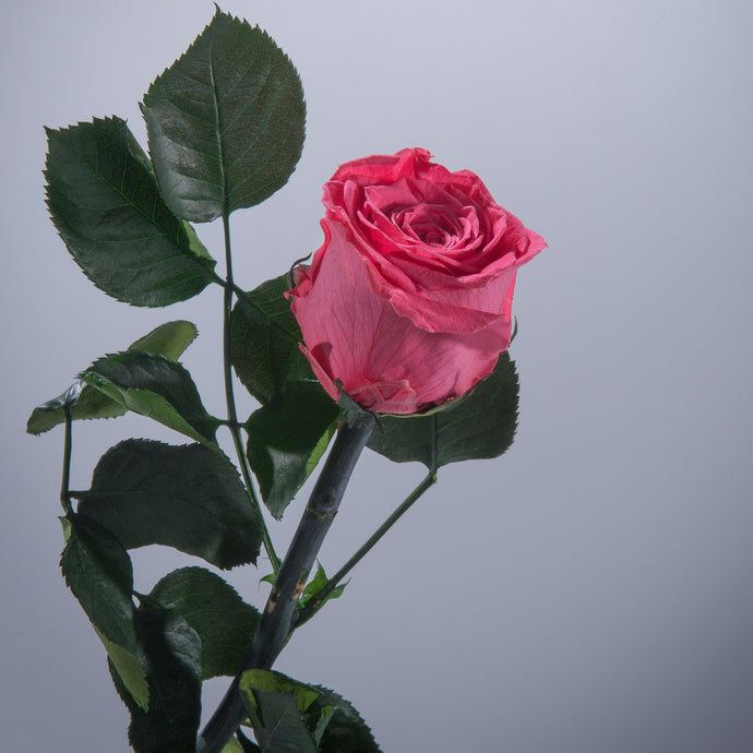 Dark Pink Premium Magic Rose