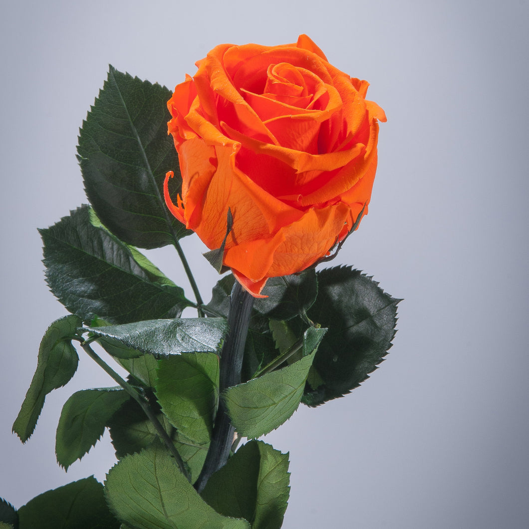 Orange Premium Magic Rose