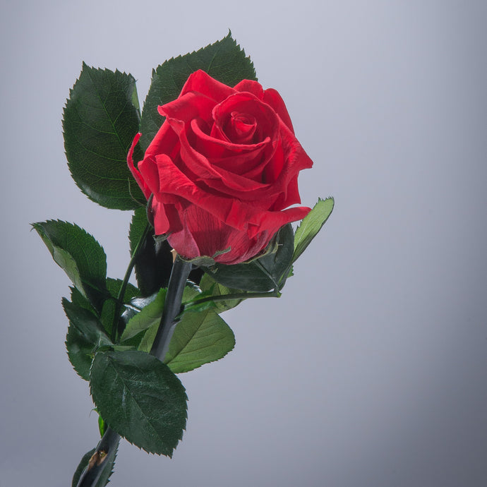 Red Premium Magic Rose