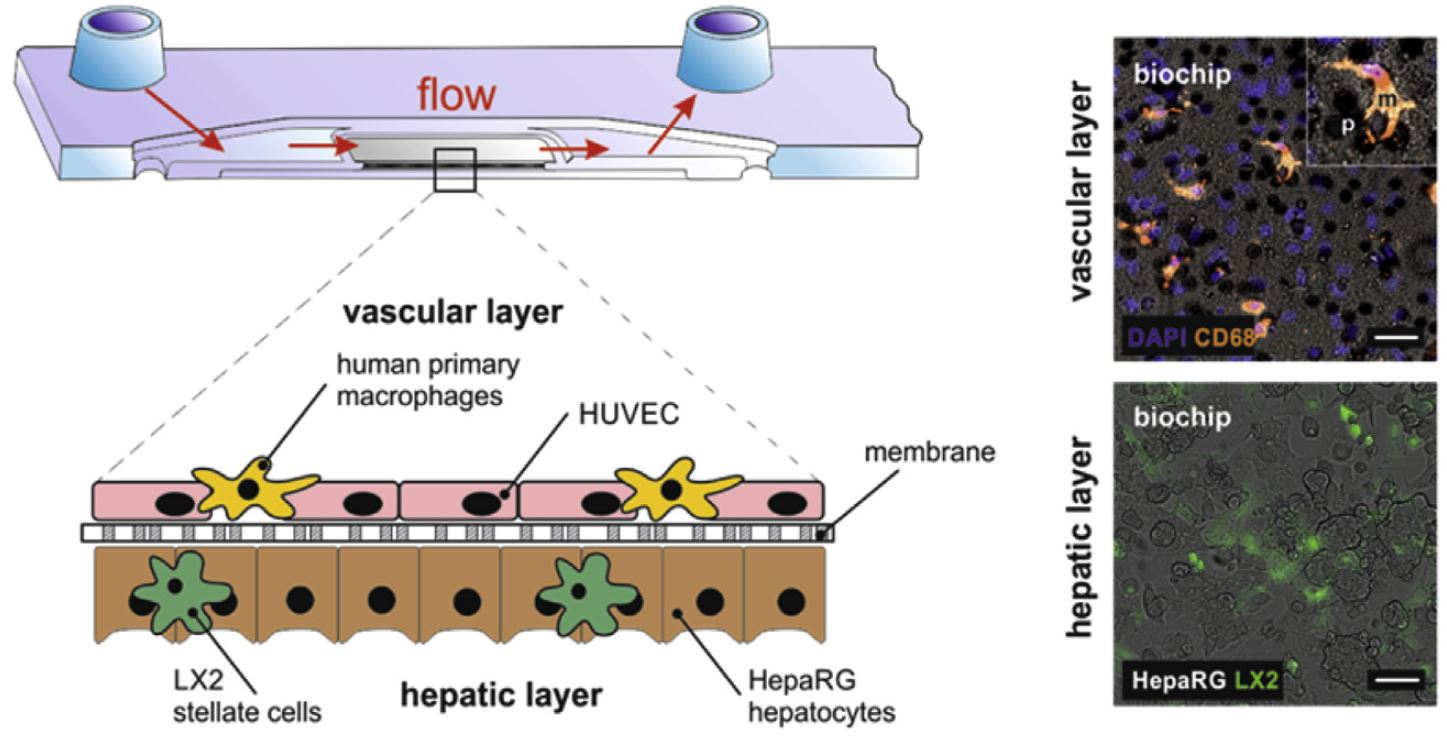 Organ-on-a-Chip - Cross-flow membrane_liver_darwin microfluidics