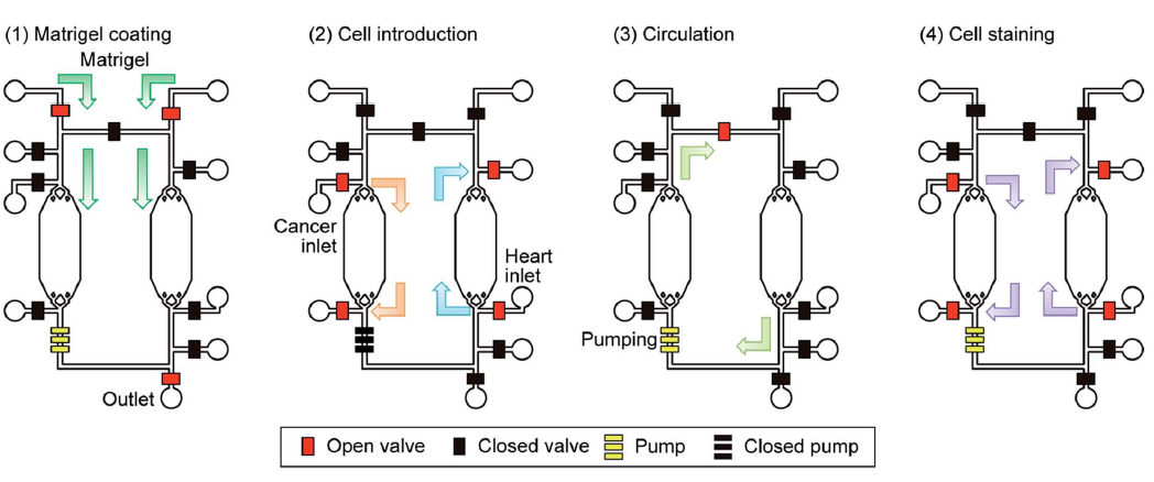 Cell culture chambers with a medium circulation system mimics the blood circulatory system