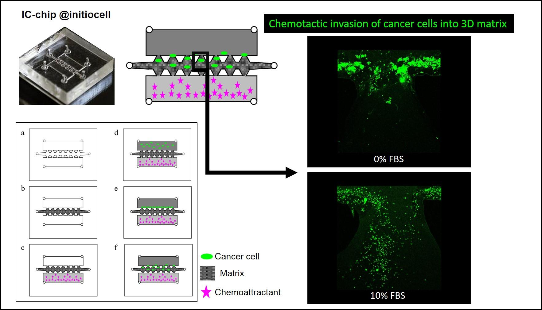 Cancer cell Invasion organ-on-chip