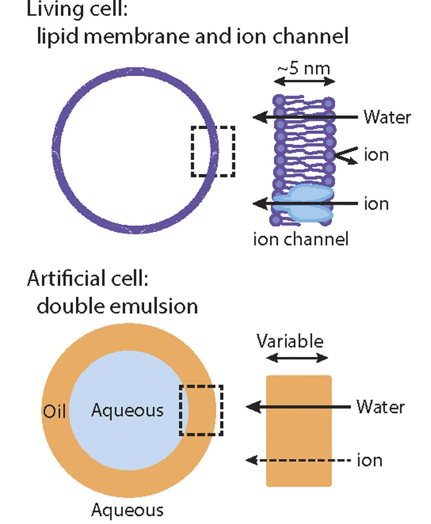 Scheme of an artificial cell generated by a double emulsion compared to a real living cell