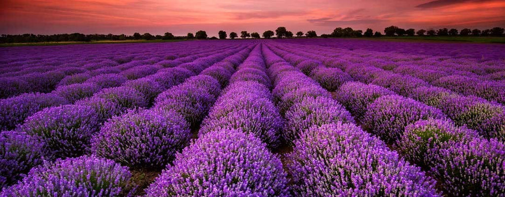 Field full of Lavender plants ready for harvesting