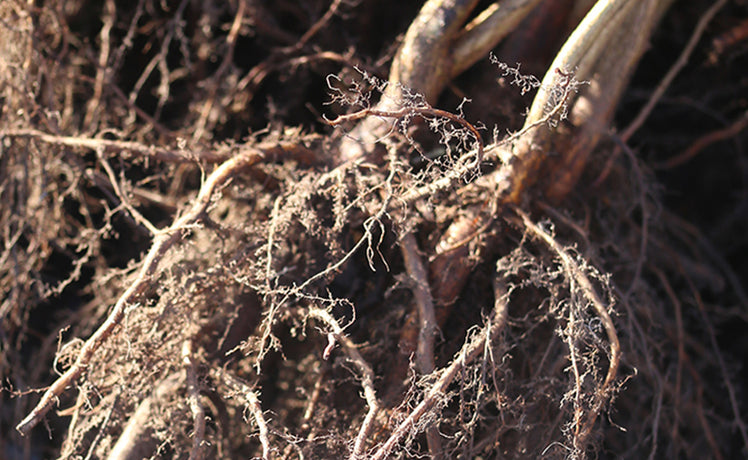 Go bare this winter: why bare-root plants are brilliant