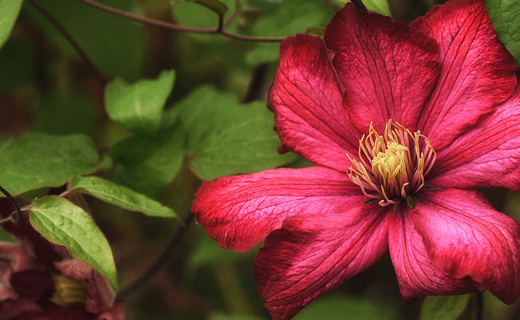 How to: prune clematis
