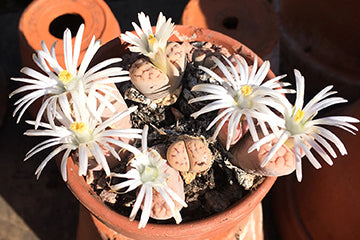 Lithops in the sun