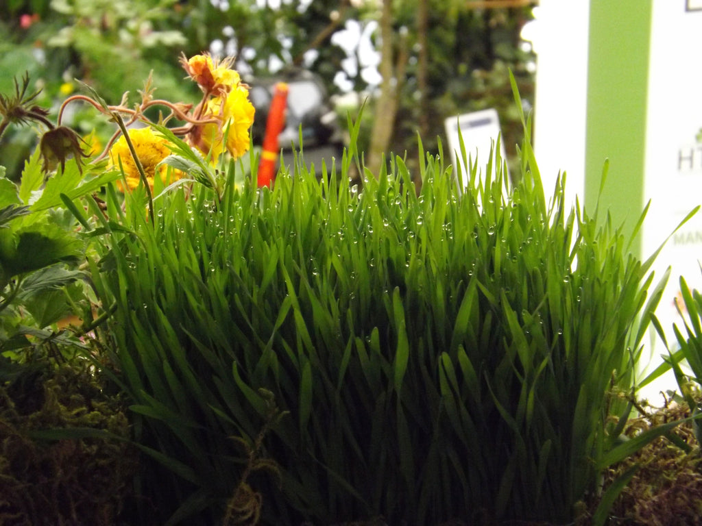 Wheatgrass, from inside the Orb Den...