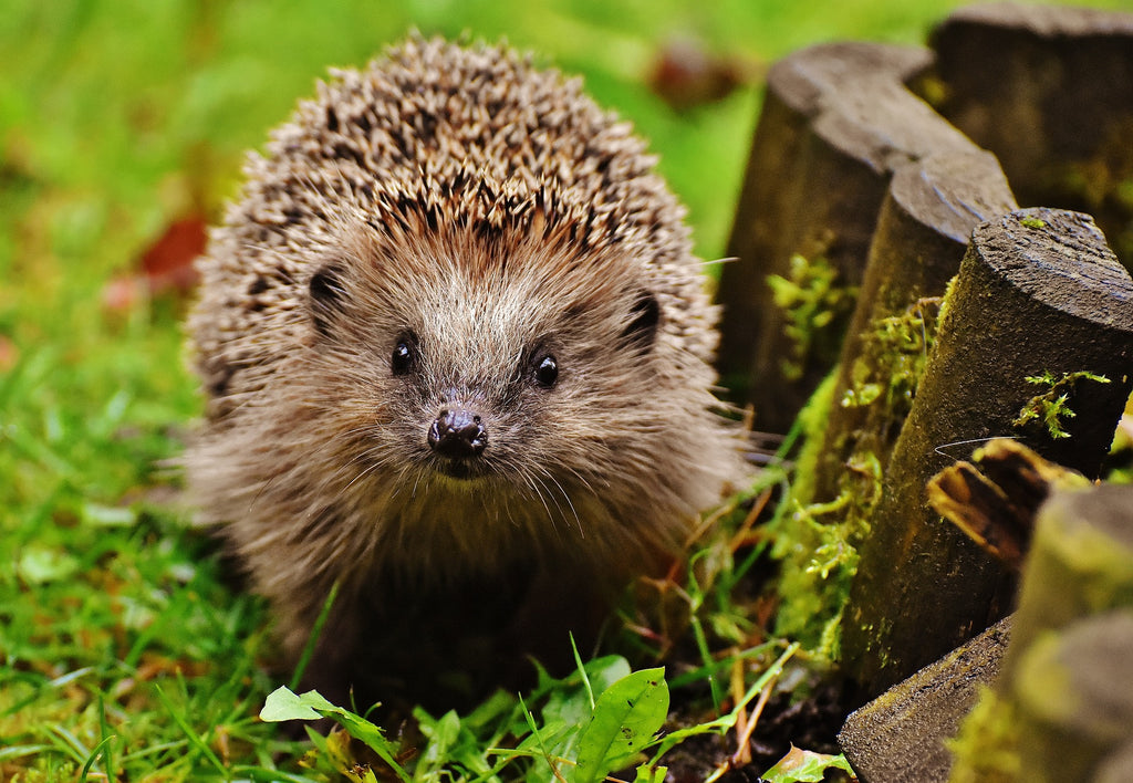 Hedgehogs are a gardener's best friend