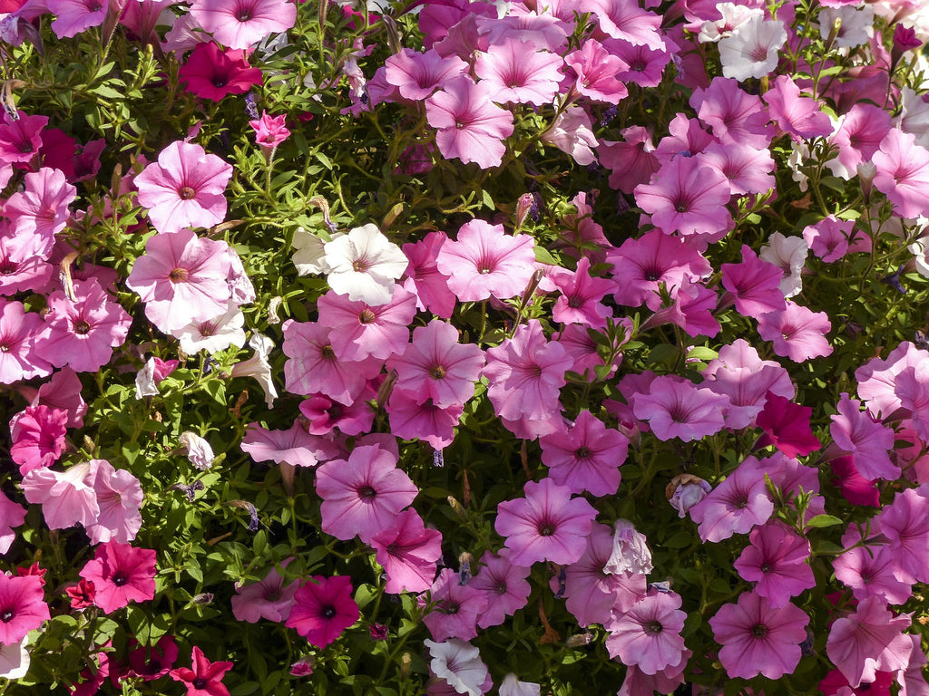 Petunias give a joyous burst of colour in hanging baskets