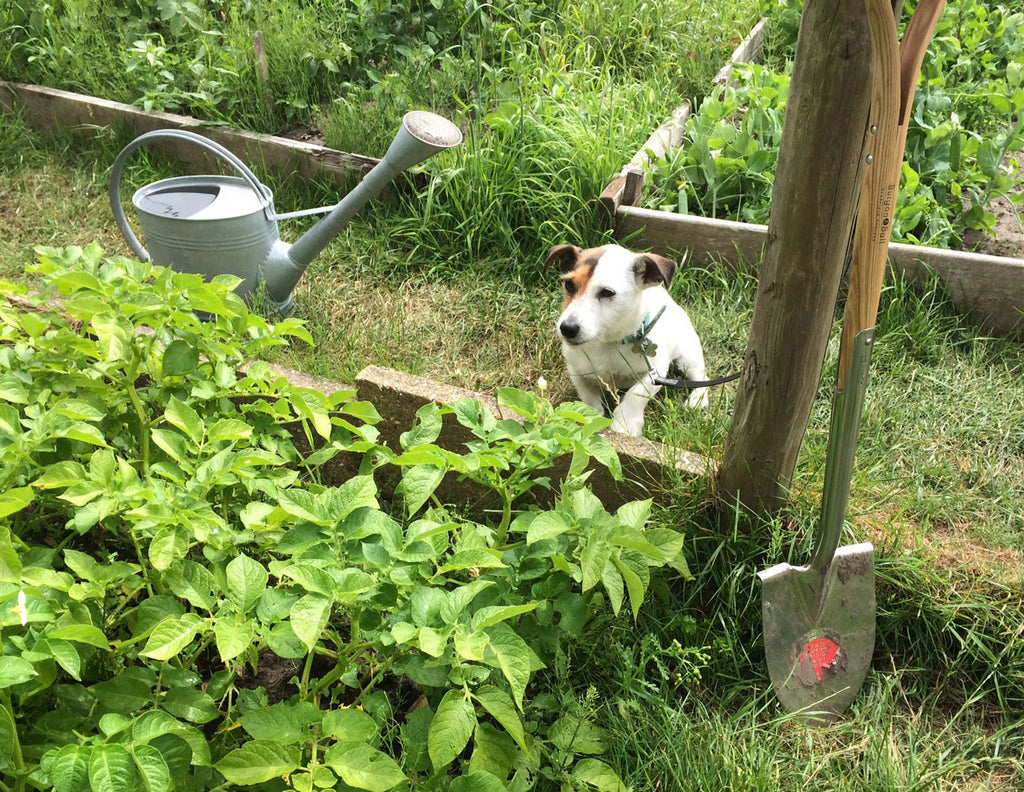 Sparky watches over our potatoes at the allotment last year