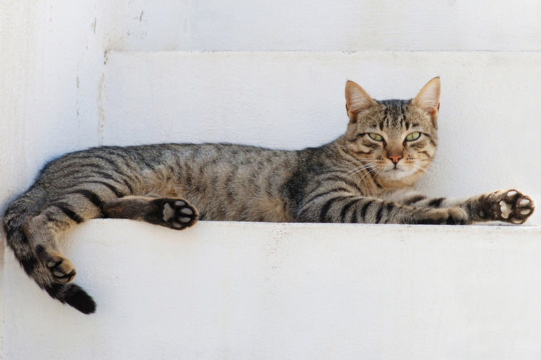 TABBY CAT LOUNGING