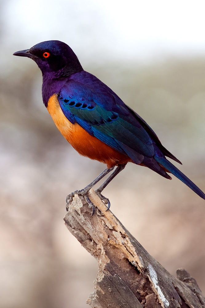 HILDEBRANDT STARLING PERCHED