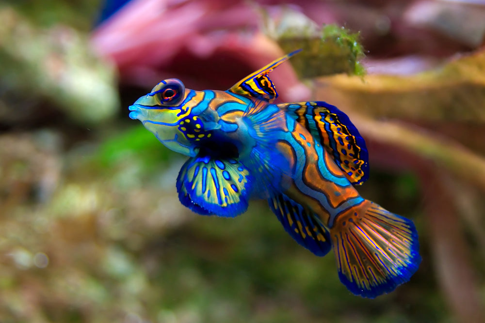 MANDARINFISH IN AQUARIUM